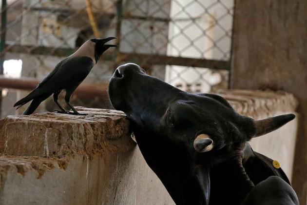 গবাদি পশু বিধি নিয়ে কেন্দ্রকে নোটিশ সুপ্রিম কোর্টের