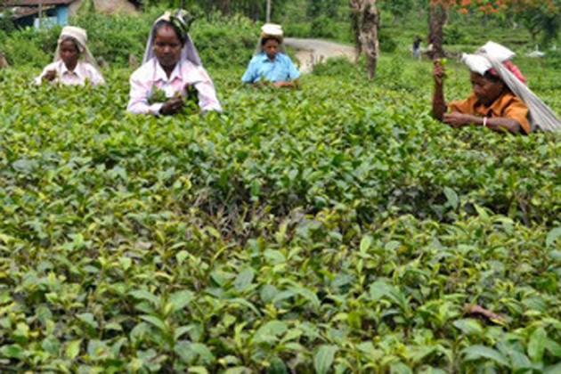 চা-বাগান তৈরি করে নজির গড়তে চলেছে ঝাড়গ্রাম জেলা