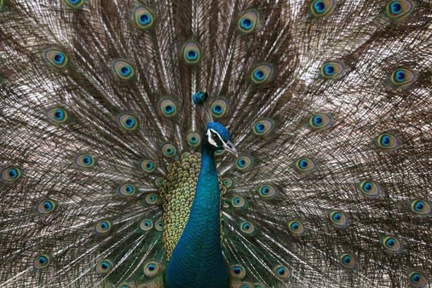 গুগল সার্চে নম্বর ওয়ান 'ময়ূর', বিচারপতির মন্তব্যে সুপারহিট দেশের জাতীয় পাখি